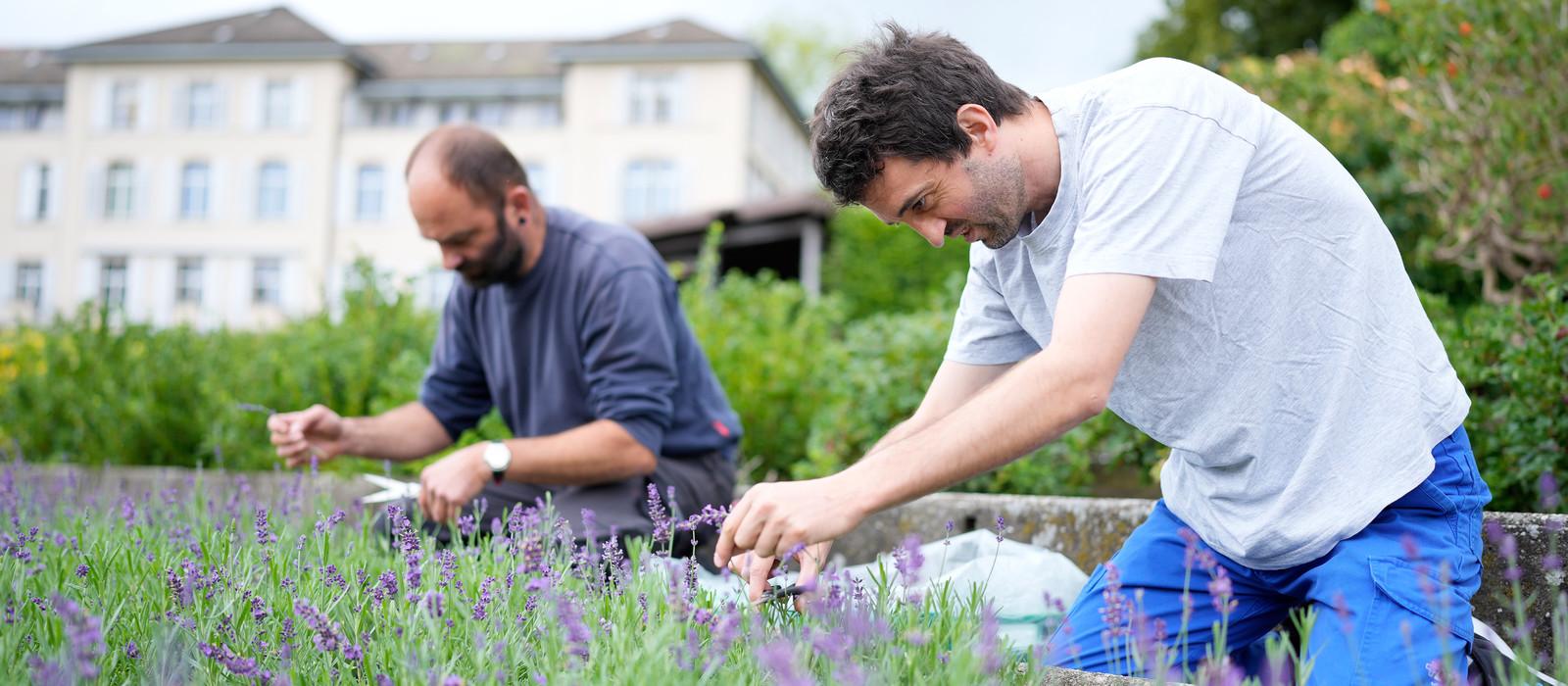 Bild vom Lavendel ernten