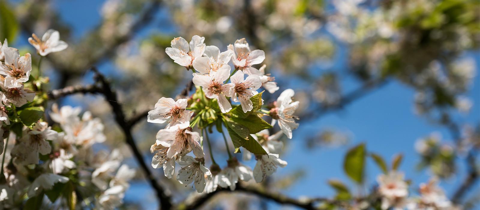 Ein Bild von Blüten an einem Baum im Frühling